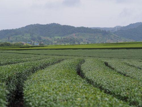 tea plantations rai view