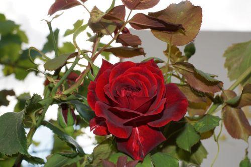 tea rose flower rose