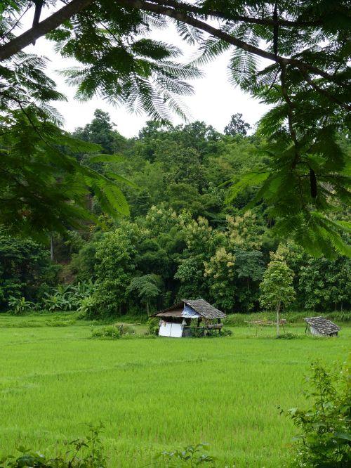 teak forest lampang thailand