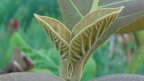 teak leaves shoots leaf