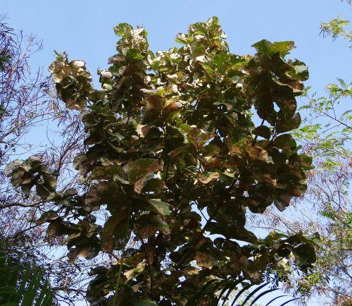 tectona grandis,teikas,medis,lapuočių,plačialapiai,mediena,Hubli,Indija