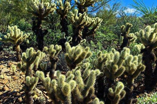 teddy bear cholla  arizona-sonora desert museum  tucson