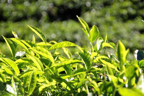 tee plantation tea plantation