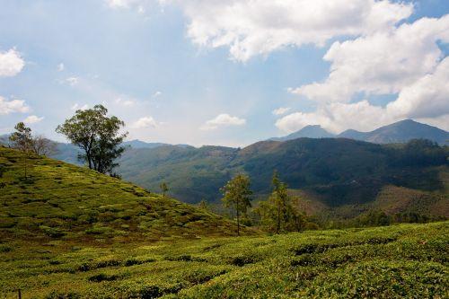 tee tea plantation india