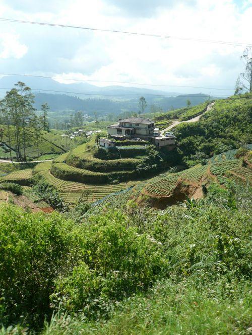 tee cultivation terraces ceylon