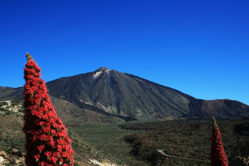 teide national park tajinaste rojo red flowers