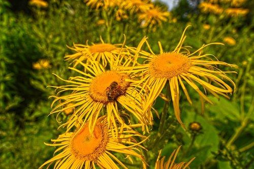 telekia  ox-eye  flower