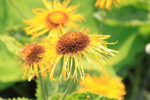telekia flowers asteraceae