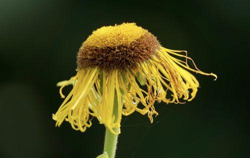 telekia speciosa composites flower
