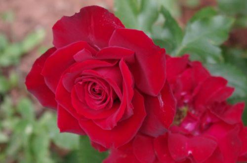 Ten-ten Rose