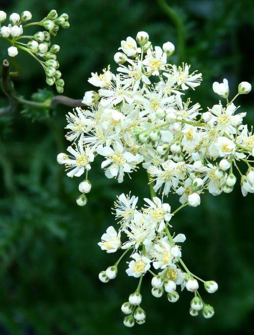 tender white blossom