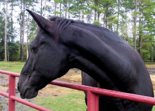 tennessee walking horse twh horse