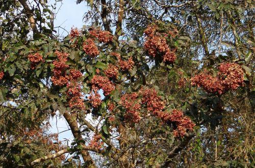 terminalia paniculata kinjal flowering murdah