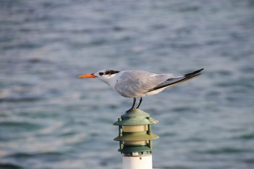 tern seabird bird