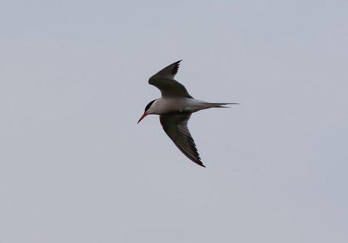 tern  arctic tern  white bird