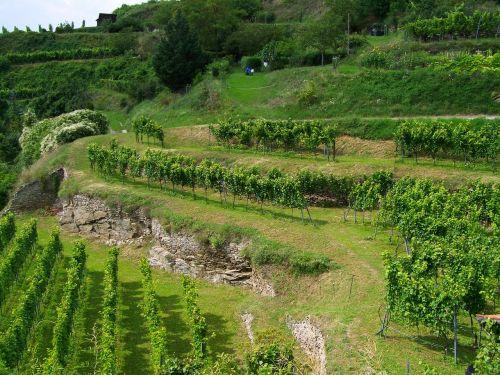 terrace viticulture krems austria