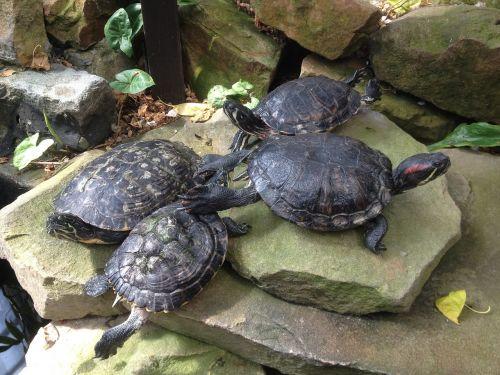 terrapins turtles sliders