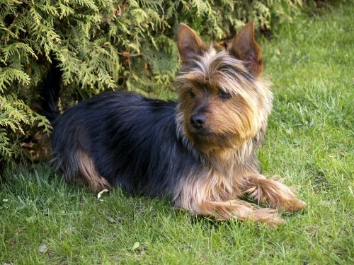 terrier small dog