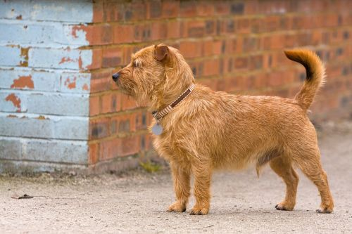 terrier mixed breed mongrel