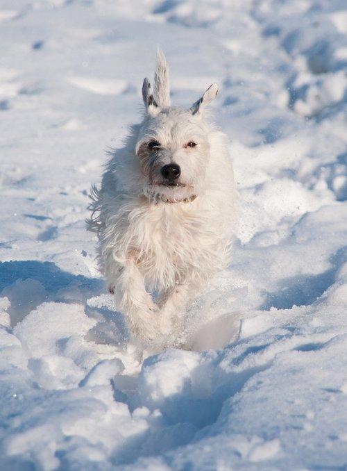terrier  dog  snow