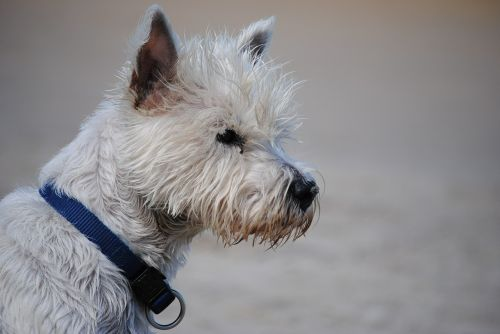 terrier west highland terrier dog