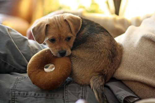 terrier dog pet