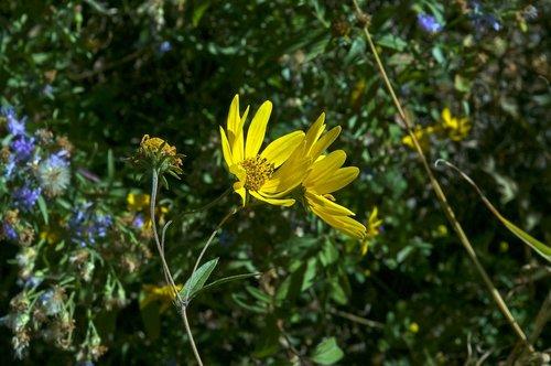 teton sunflower  grand teton national park  blossom