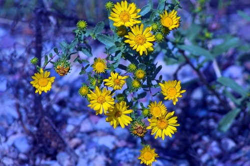 tetons yellow wildflowers  nature  flowers