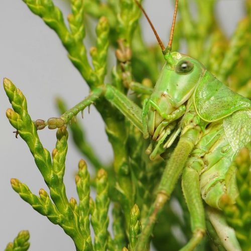 tettigonia viridissima skip close