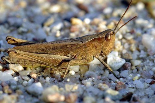 tettigonia viridissima grasshopper insect