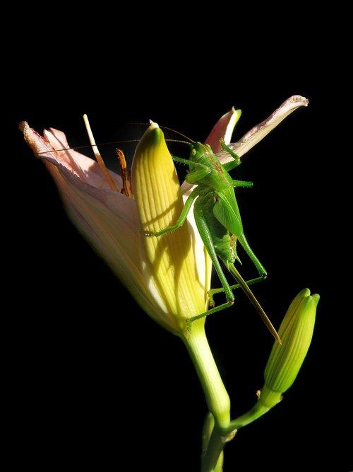 tettigonia viridissima  female larva  last larval stage