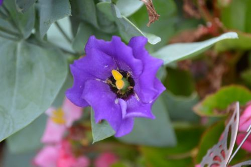 texas bluebell lisianthus