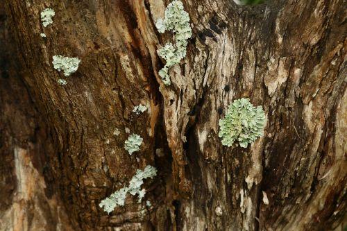 texture tree big tree