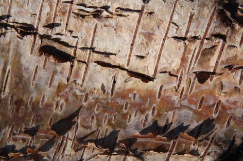 texture silver birch bark