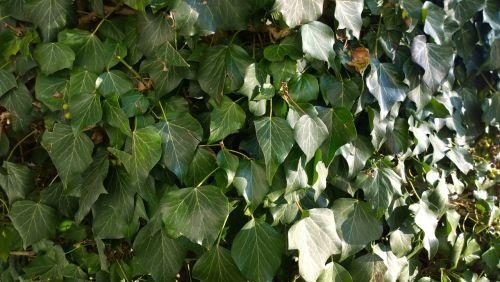 texture ivy plant