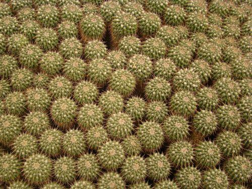 texture cactus botanical