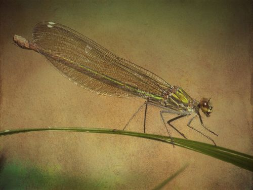 texture background dragonfly