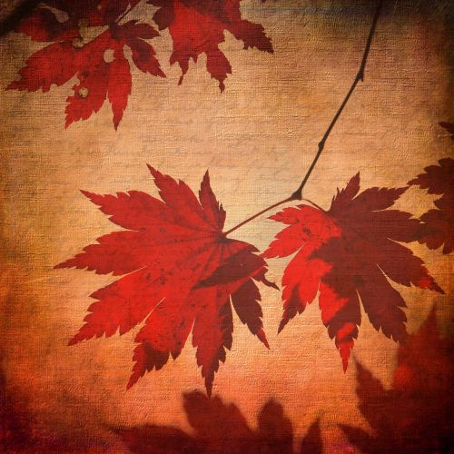 texture background maple
