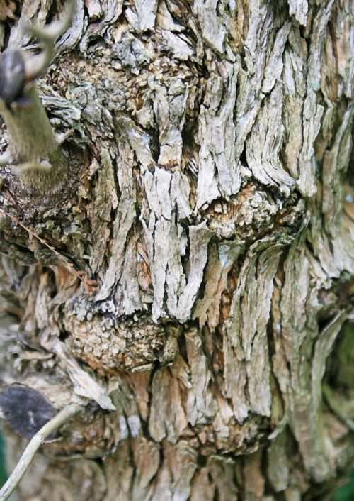 Texture Of Lemon Verbena Bark