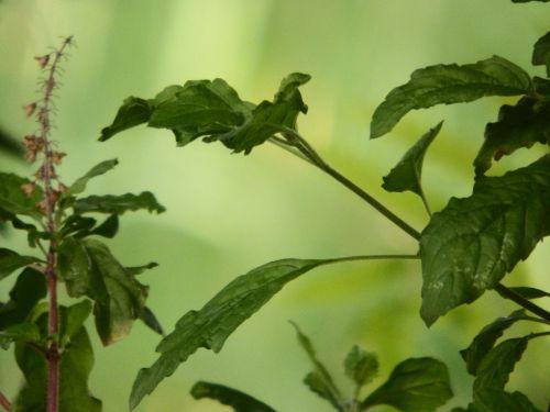 Thai Basil Plant