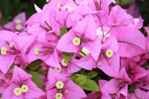 bougainvillea flowers purple petals