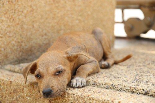 thailand  dog  stray dog