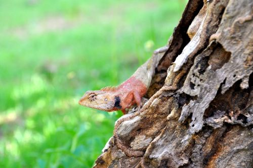 thailand salamander red