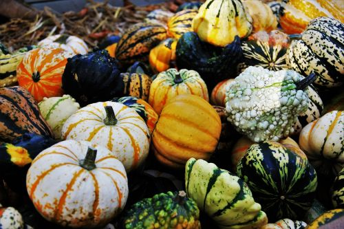 thanksgiving decorative squashes seasonal autumn decoration