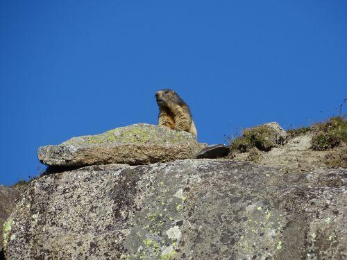 marmot animal rock
