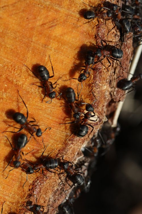 the anthill wood ants