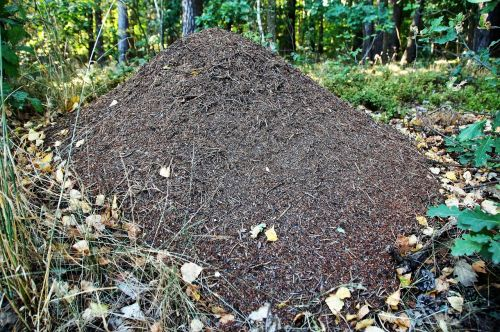 the anthill ants forest