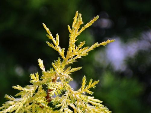 the background thuja garden
