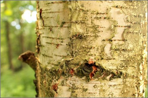 the bark birch white
