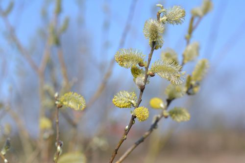 the basis of willow catkins willow